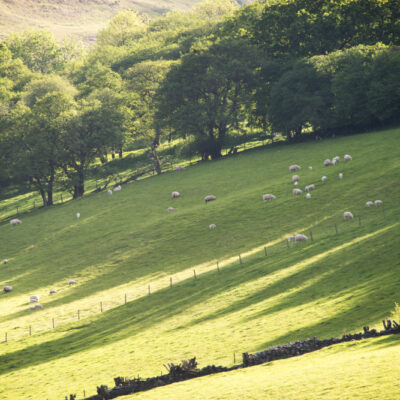 Talybont on Usk Fields Brecon Beacons Fields Sheep